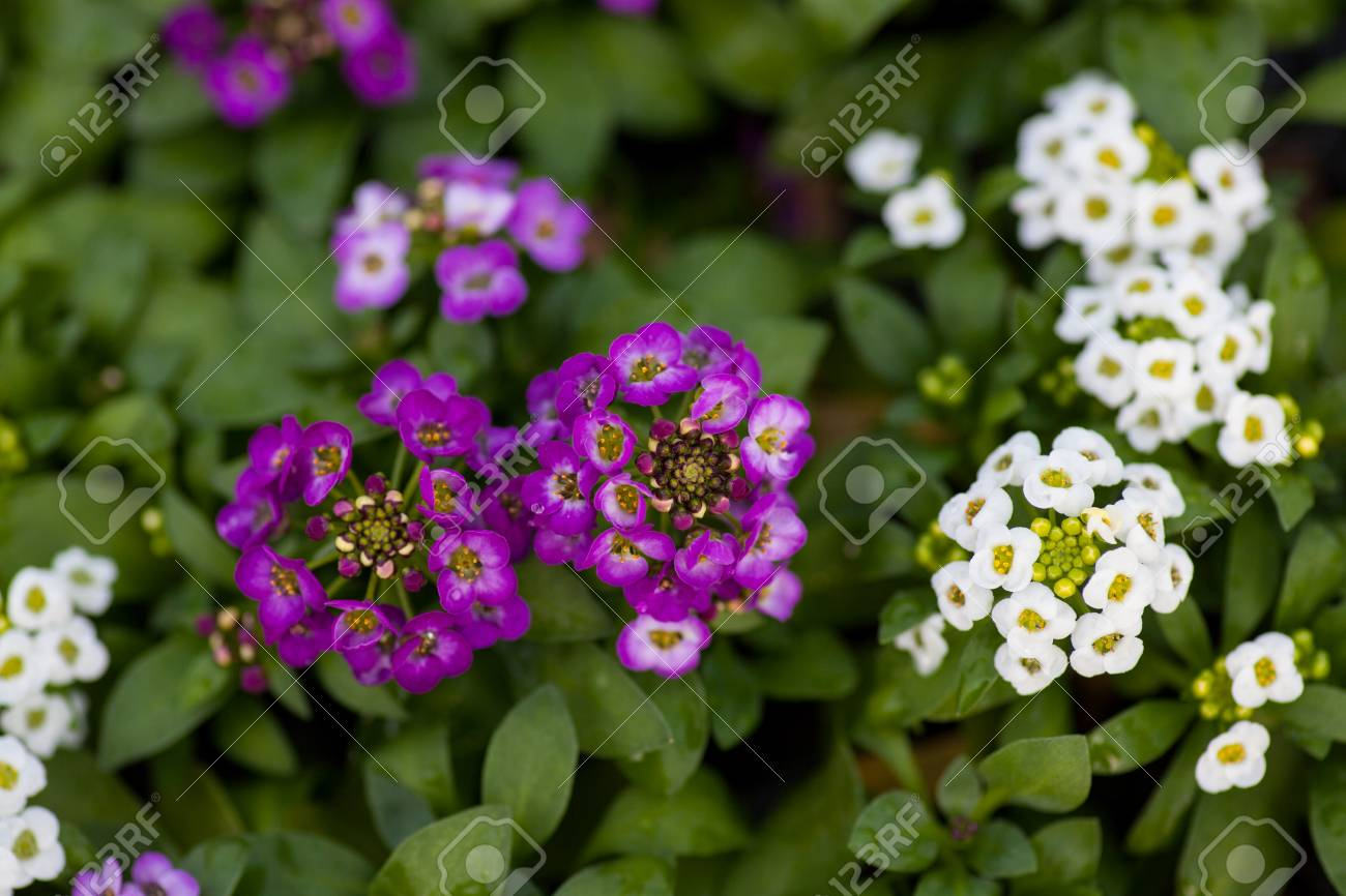 Close up of pretty pink white and purple alyssum flowers of close up of pretty pink white and purple alyssum flowers of the cruciferae annual izmirmasajfo