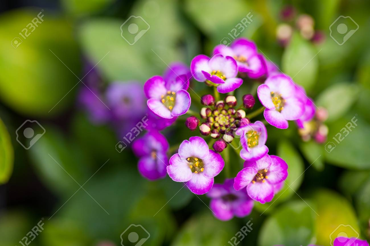 Close Up Of Pretty Pink White And Purple Alyssum Flowers Of