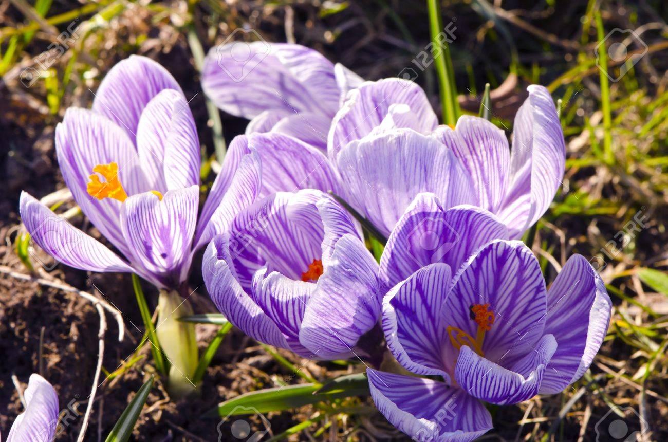 Crocus Saffron First Spring Flowers Grow In Garden Violet Blooms