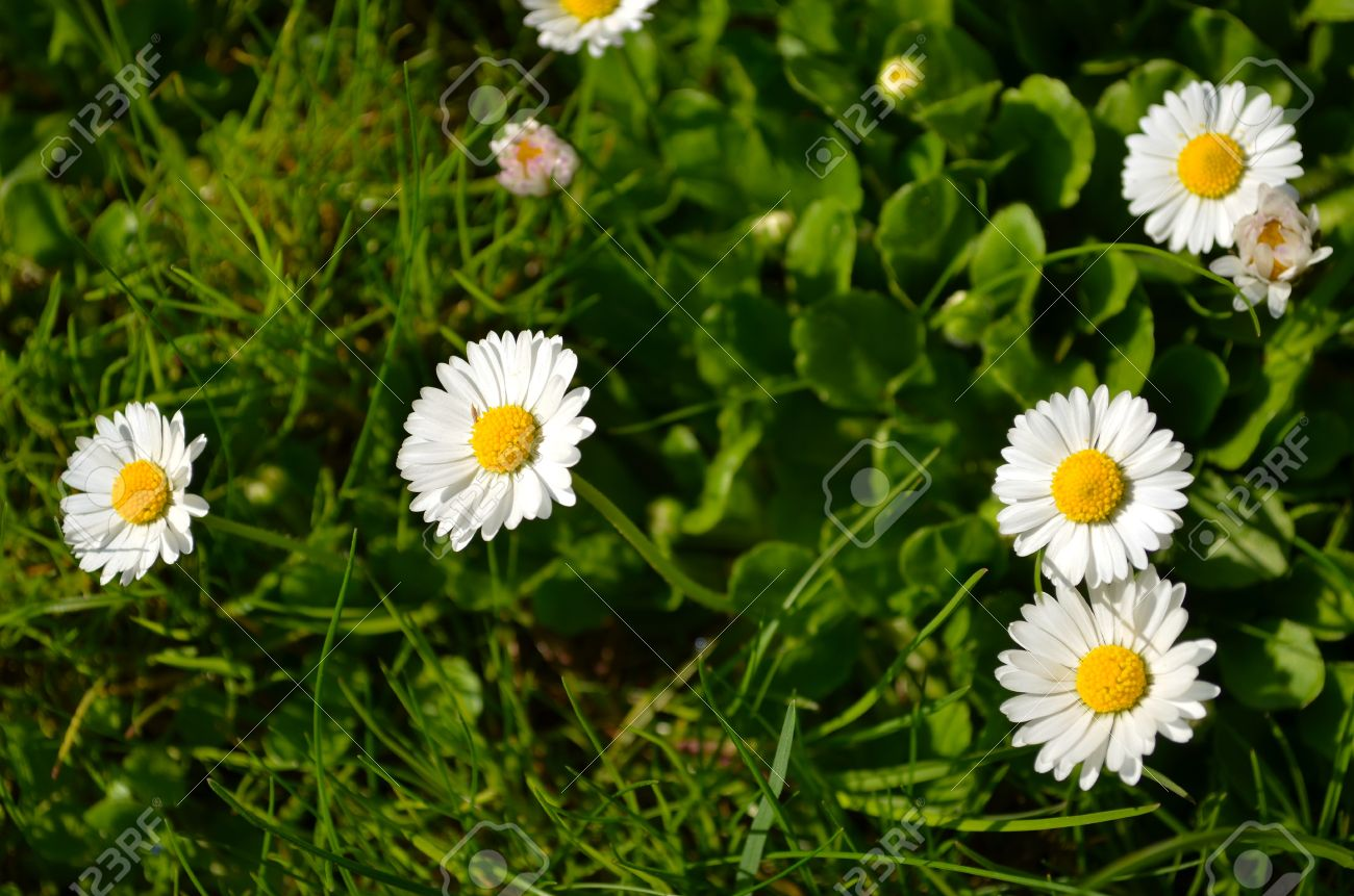 Closeup of small sun flowers with yellow middle with lot white closeup of small sun flowers with yellow middle with lot white leaves like daisy romantic izmirmasajfo Choice Image