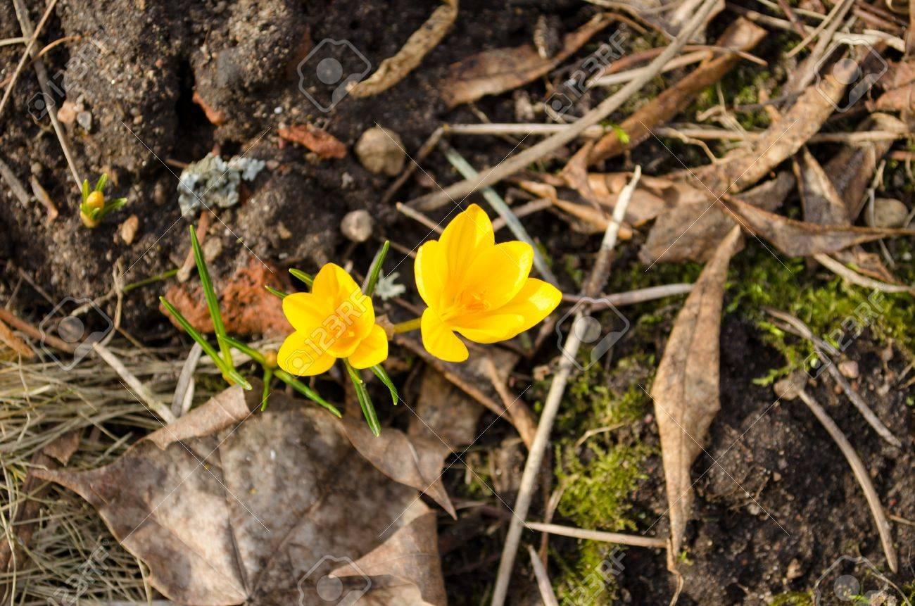 Azafrán del amarillo florece la flor del azafrán se mueven en el viento en  el jardín