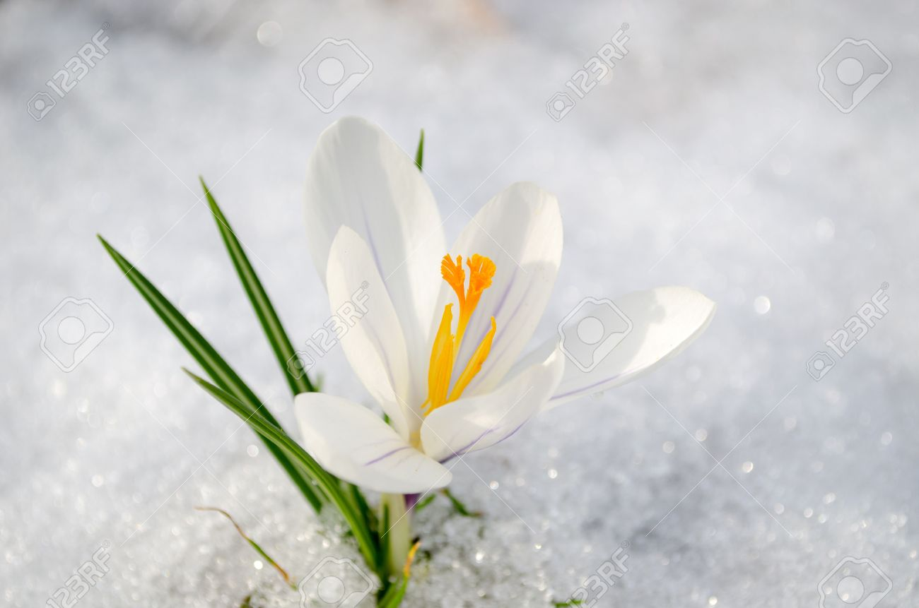 White Saffron Crocus First Spring Flower Bloom Closeup Between ...
