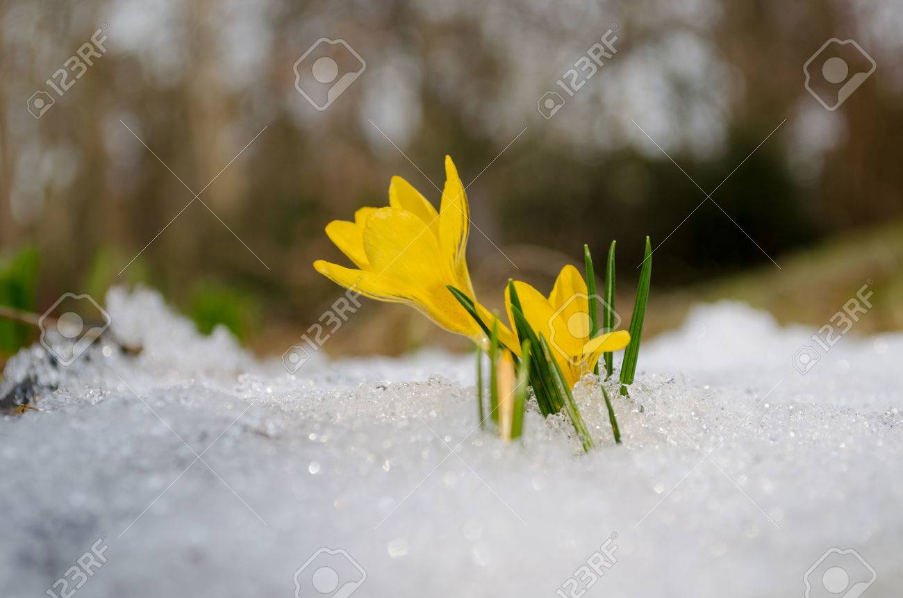 Delicate yellow crocuses first spring flowers rise up from the delicate yellow crocuses first spring flowers rise up from the snow in sun stock photo mightylinksfo