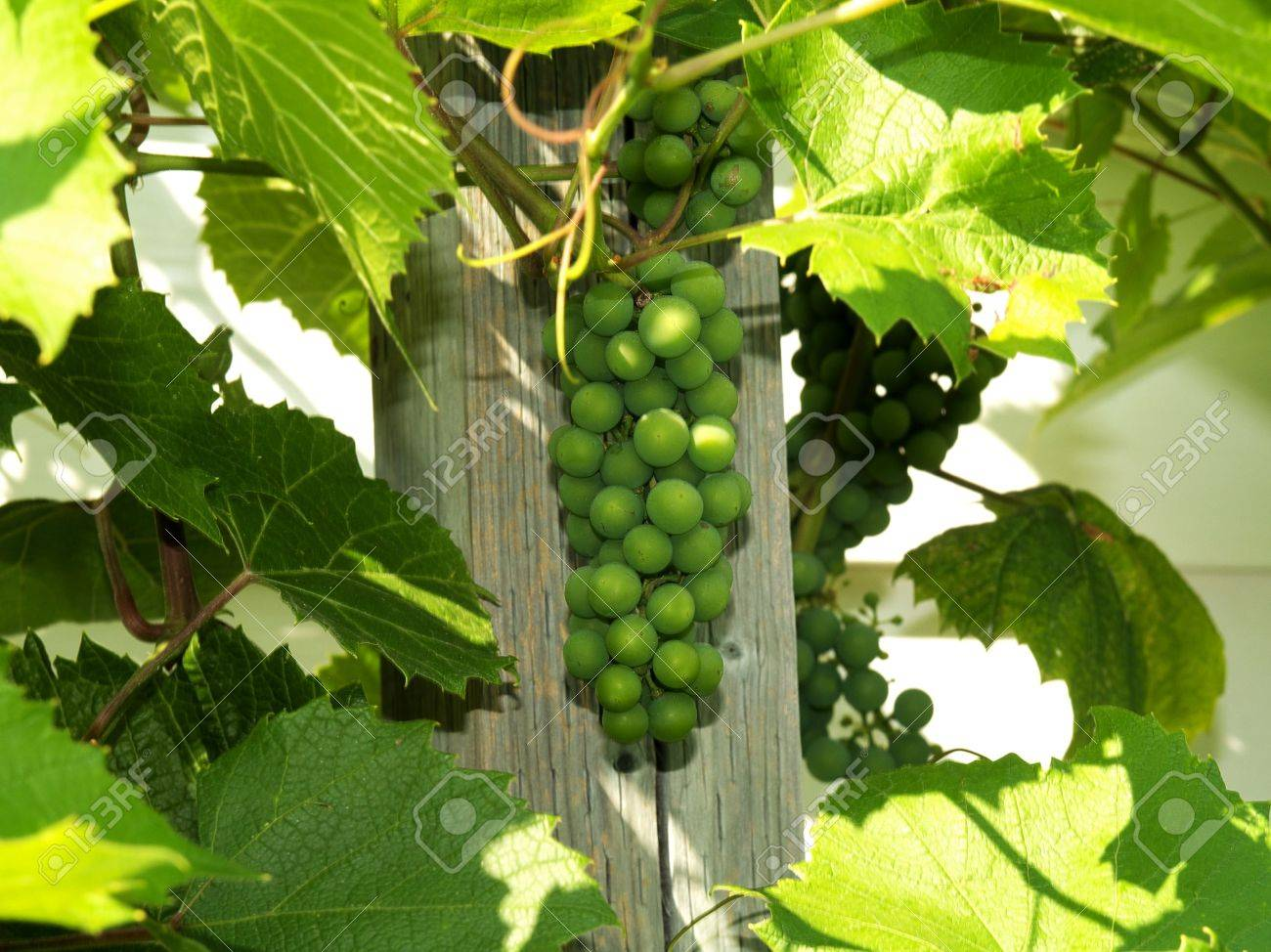 Unripe green grape bunches mid summer next to pole in shade Stock Photo - 3561162