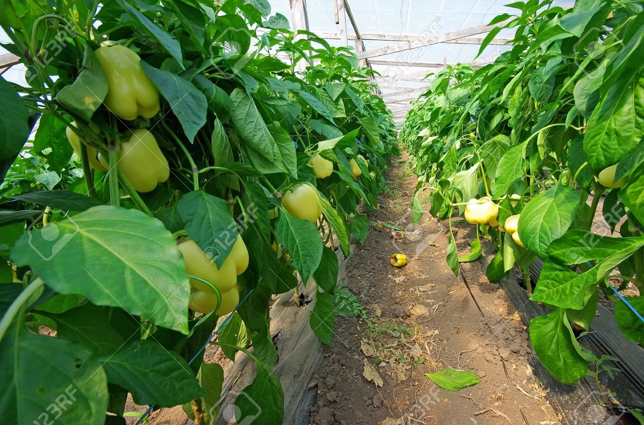 Yellow pepper plant in a greenhouse Stock Photo - 14953650