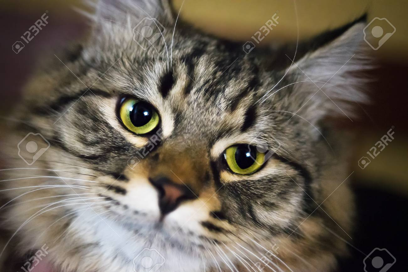 Cat Is Looking At You Macro Photography Of Green Yellow Cats Stock Photo Picture And Royalty Free Image Image 106061197