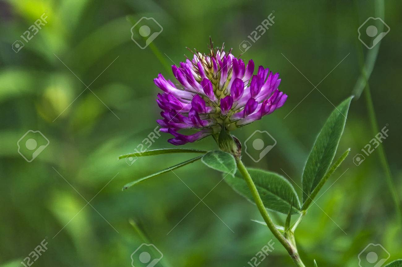 Close Up Of A White And Pink Clover Flower Stock Photo Picture And