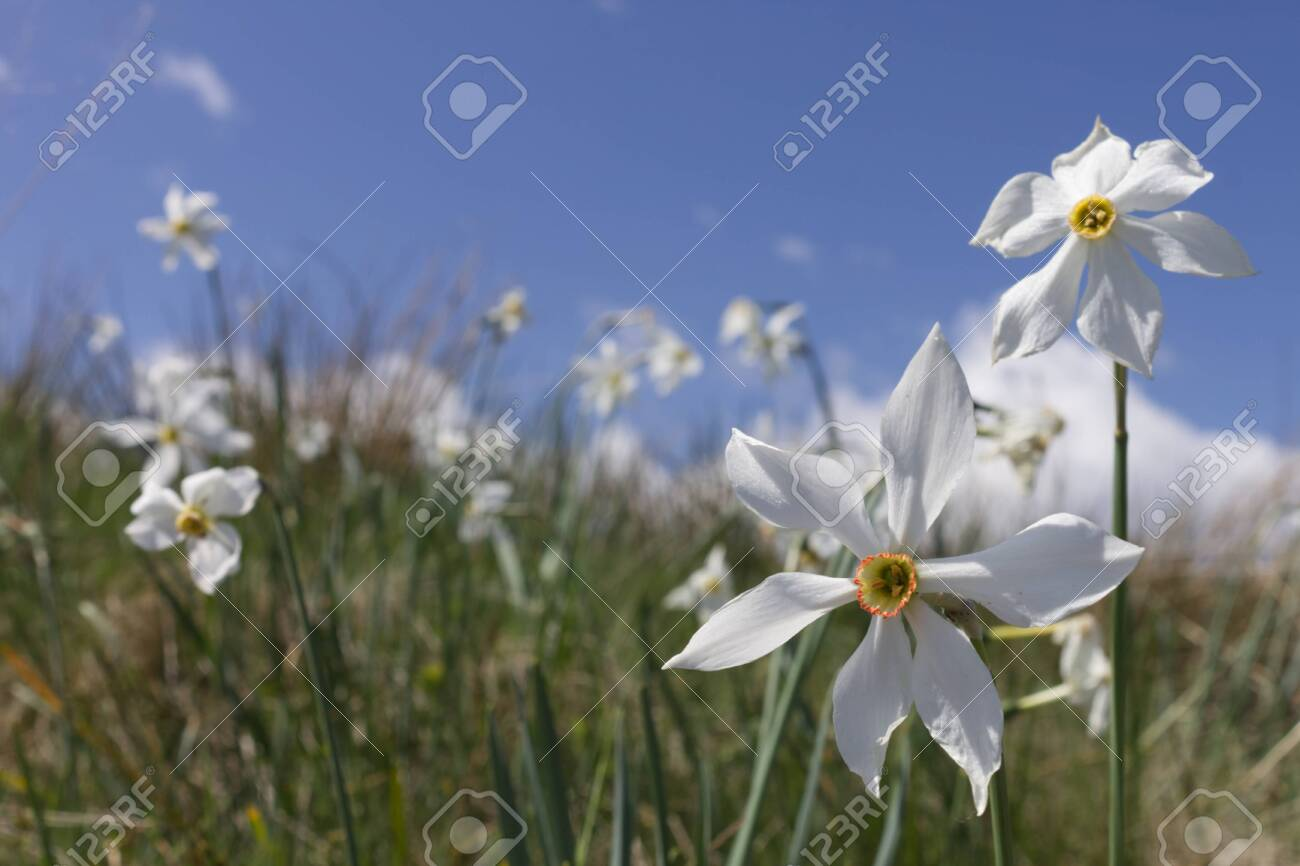 close up photo of a daffodil mountain flower in the Italian Alps - 147399387