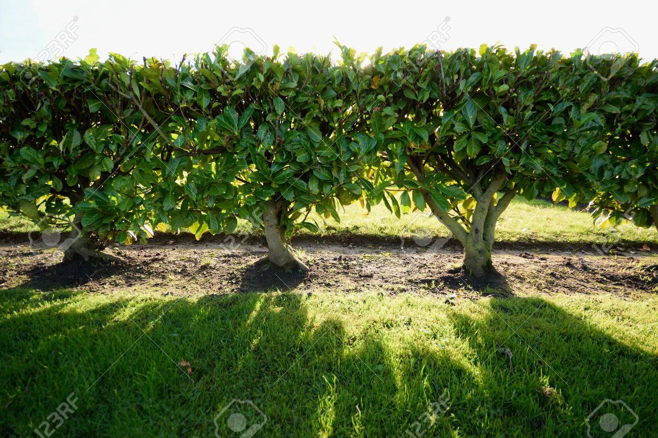 Green Living Fence Stock Photo   50323546