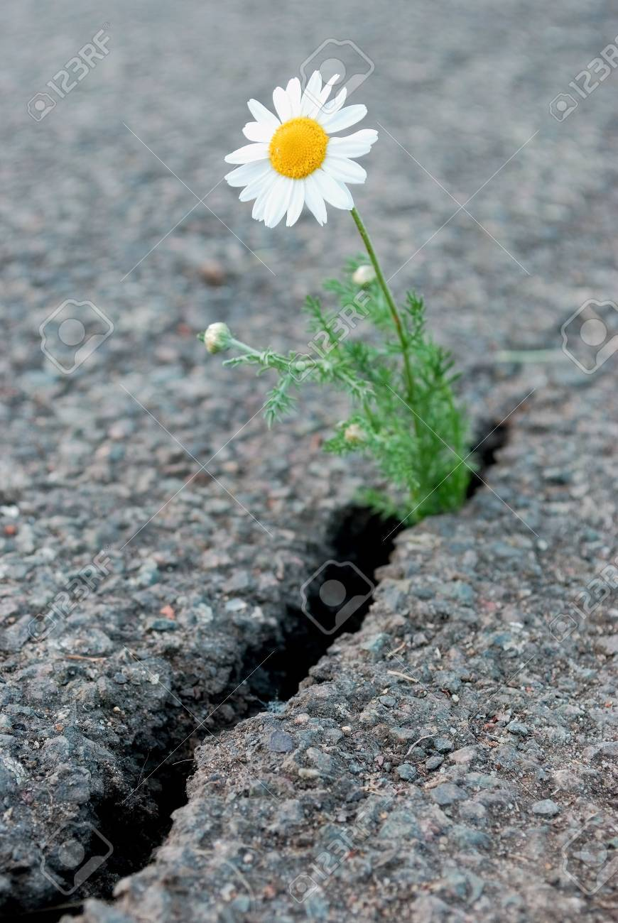 Daisy Flower Growing From Cracked Asphalt Stock Photo Picture And