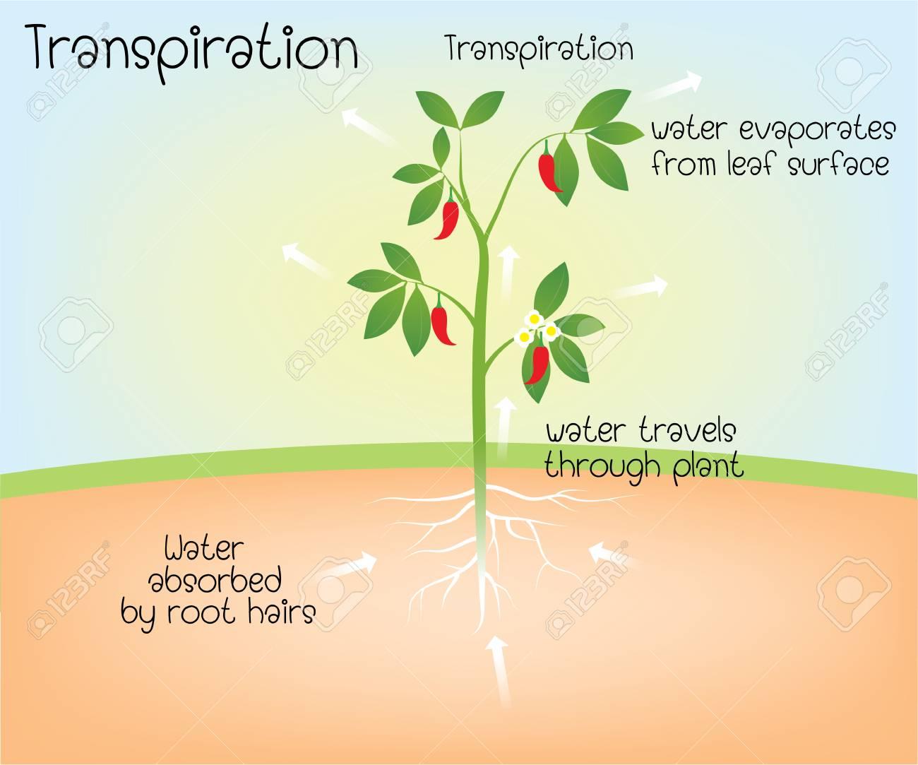 transpiration - 115172057