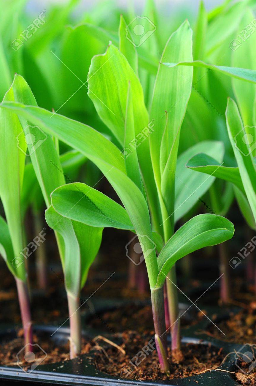 Young green corn, maize, sweet corn seedling in pod for experiment Stock Photo - 16302166