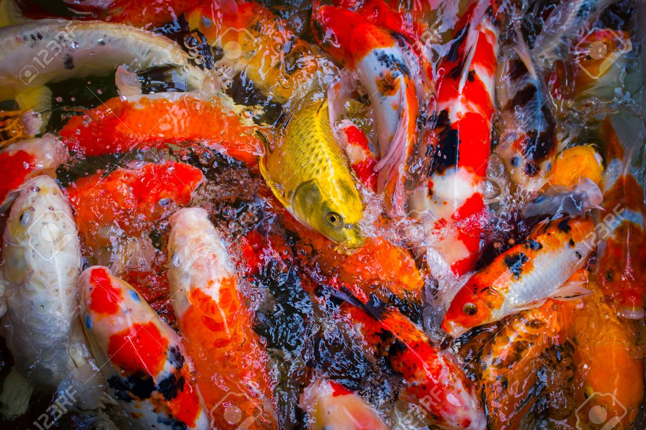 Colorful Koi Fish Swimming In A Crowded Pond. Stock Photo, Picture ...