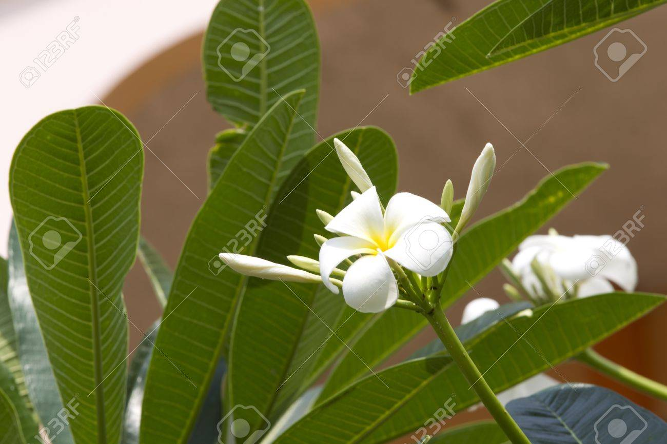Pure White Flowers Grow As Ornamental Plants Stock Photo Picture