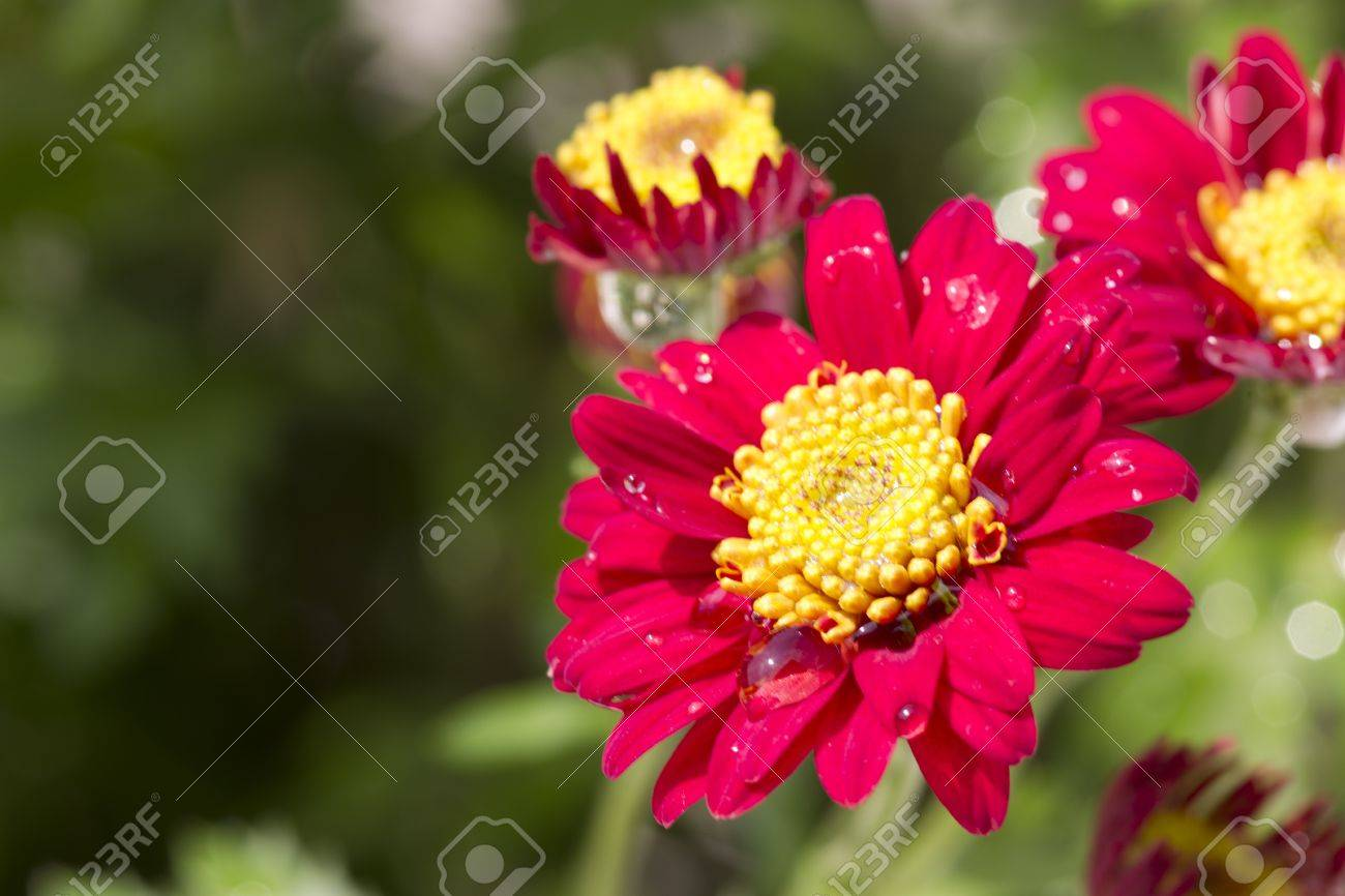 Cheery Red Flowers With A Yellow Center Are Planted In A Summer