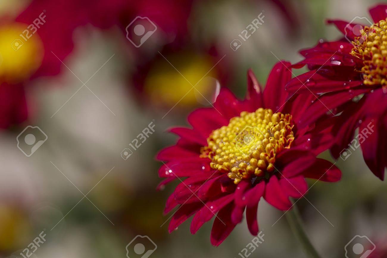 Alegres Flores De Color Rojo Con Un Centro Amarillo Se Plantan En Un Jardín De Verano Fotos Retratos Imágenes Y Fotografía De Archivo Libres De Derecho Image 13055700