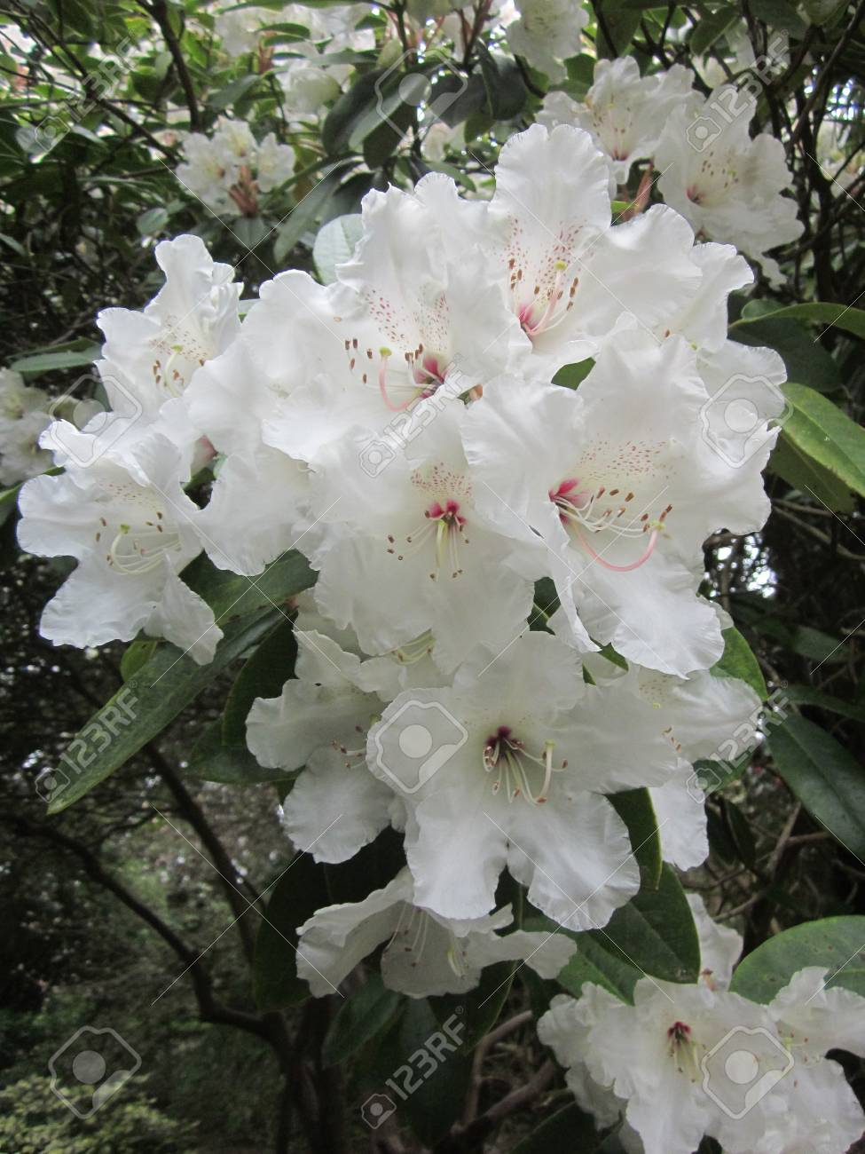 White Rhododendron Stock Photo Picture And Royalty Free Image