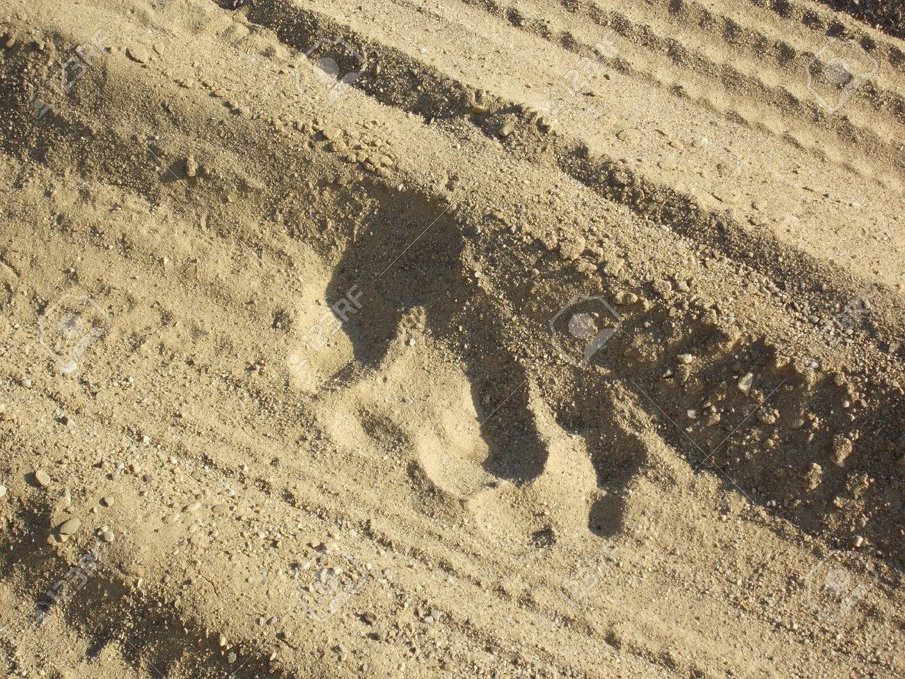 Tiger Footprints Pictures Footprint of Bengal Tiger on