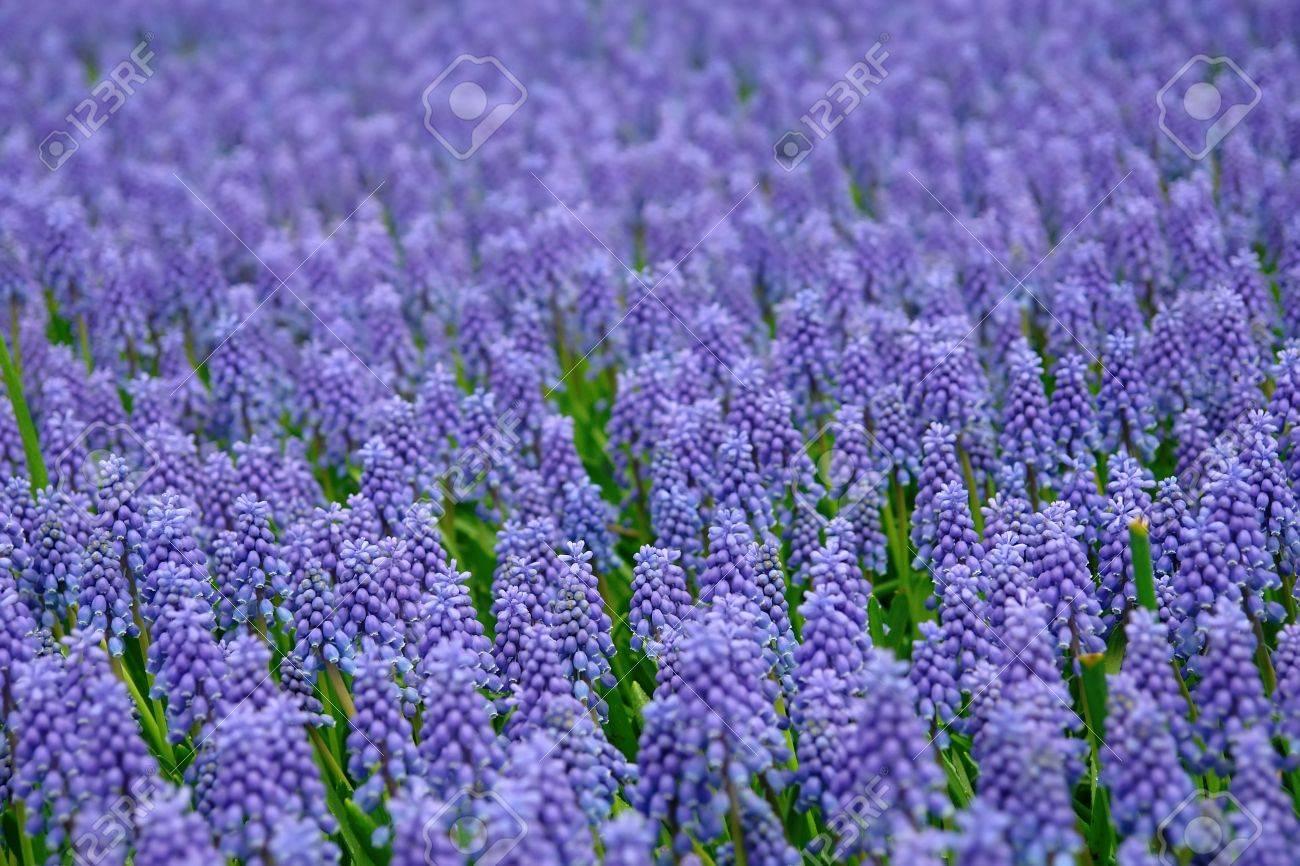 Natural backgrounds: Bluebells (Grape Hyacinth, Muscari armeniacum) Stock Photo - 4460748
