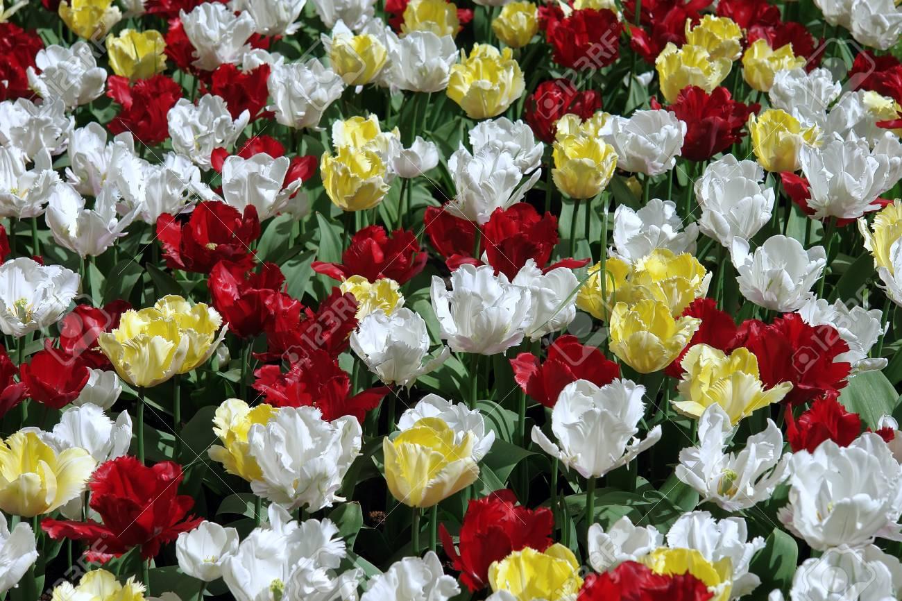 Floral pattern: multicolored tulips, Keukenhof gardens Stock Photo - 4550701