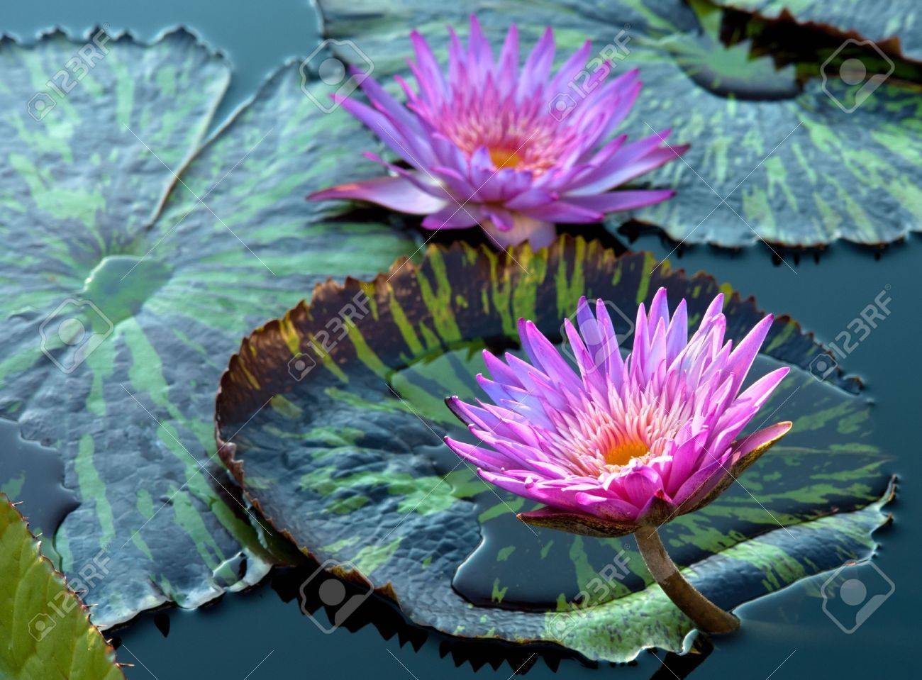 Water lily Stock Photo - 6460708