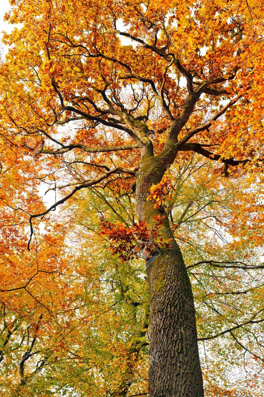Colorful autumnal oak tree Stock Photo - 7512185