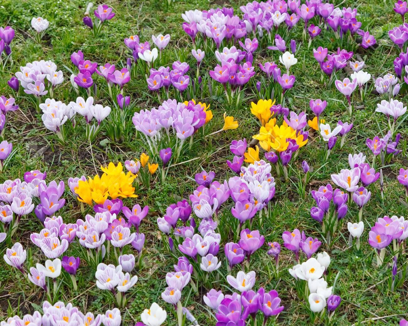 Wild Yellow Purple And White Crocus Flowers Stock Photo Picture