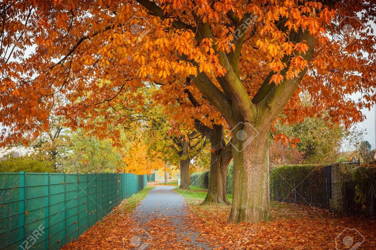 Red autumn oak tree - 14896071