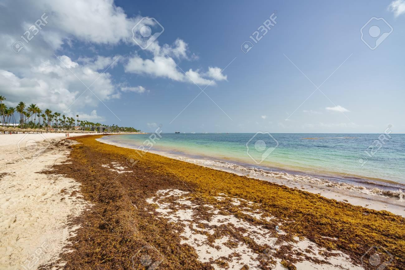 sargassum seaweeds on ocean beach in Bavaro, Punta Cana  Due