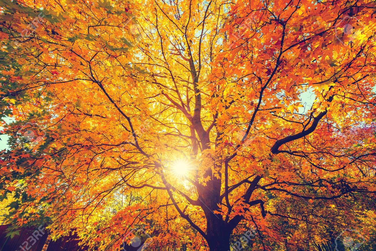 Sunny autumn golden maple tree - 130454985