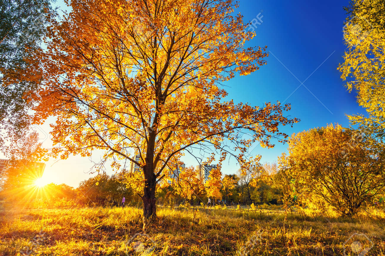 Bright tree in the autumn park at sunset - 156075035