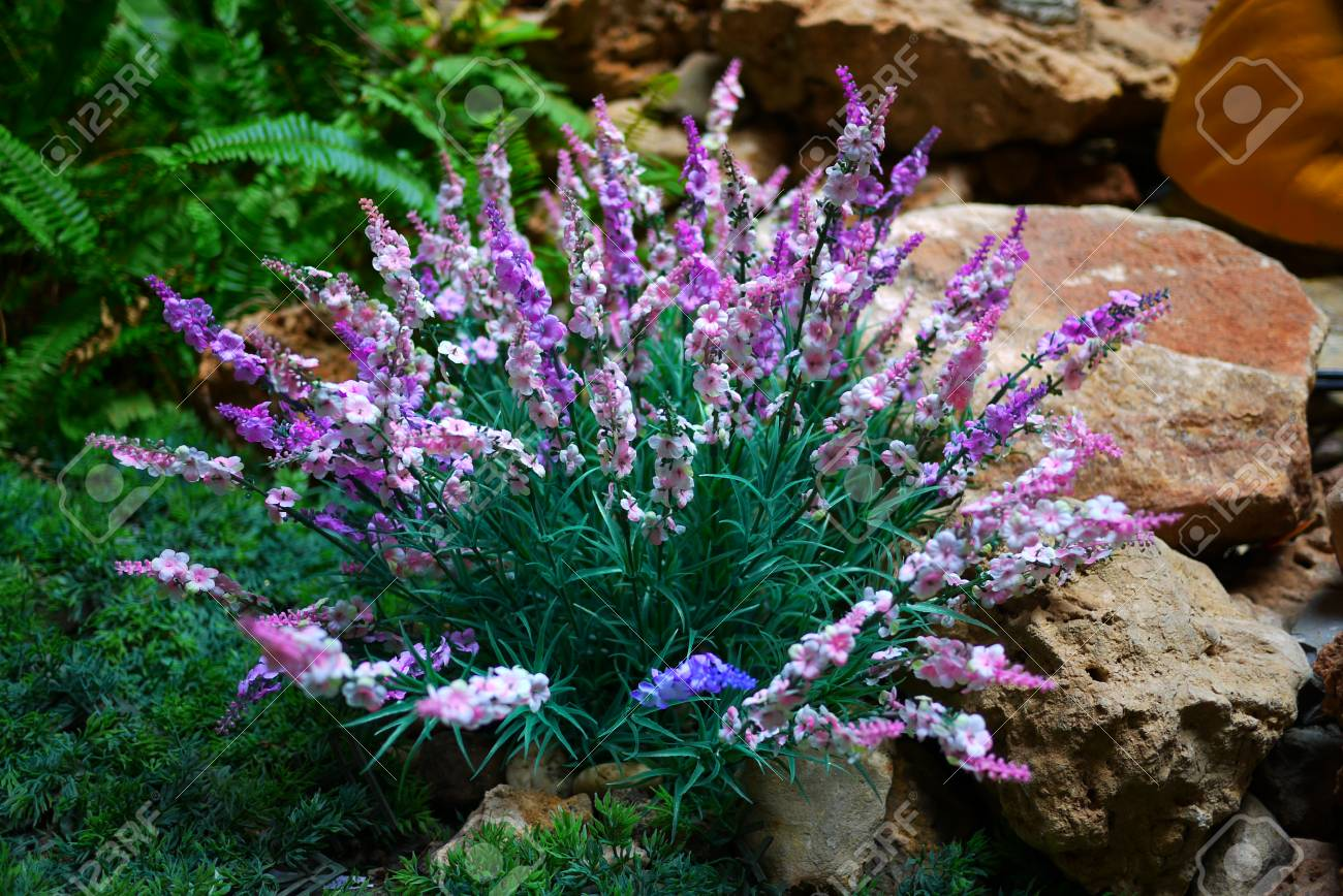 Bush With Purple And White Flowers In A Garden Stock Photo Picture