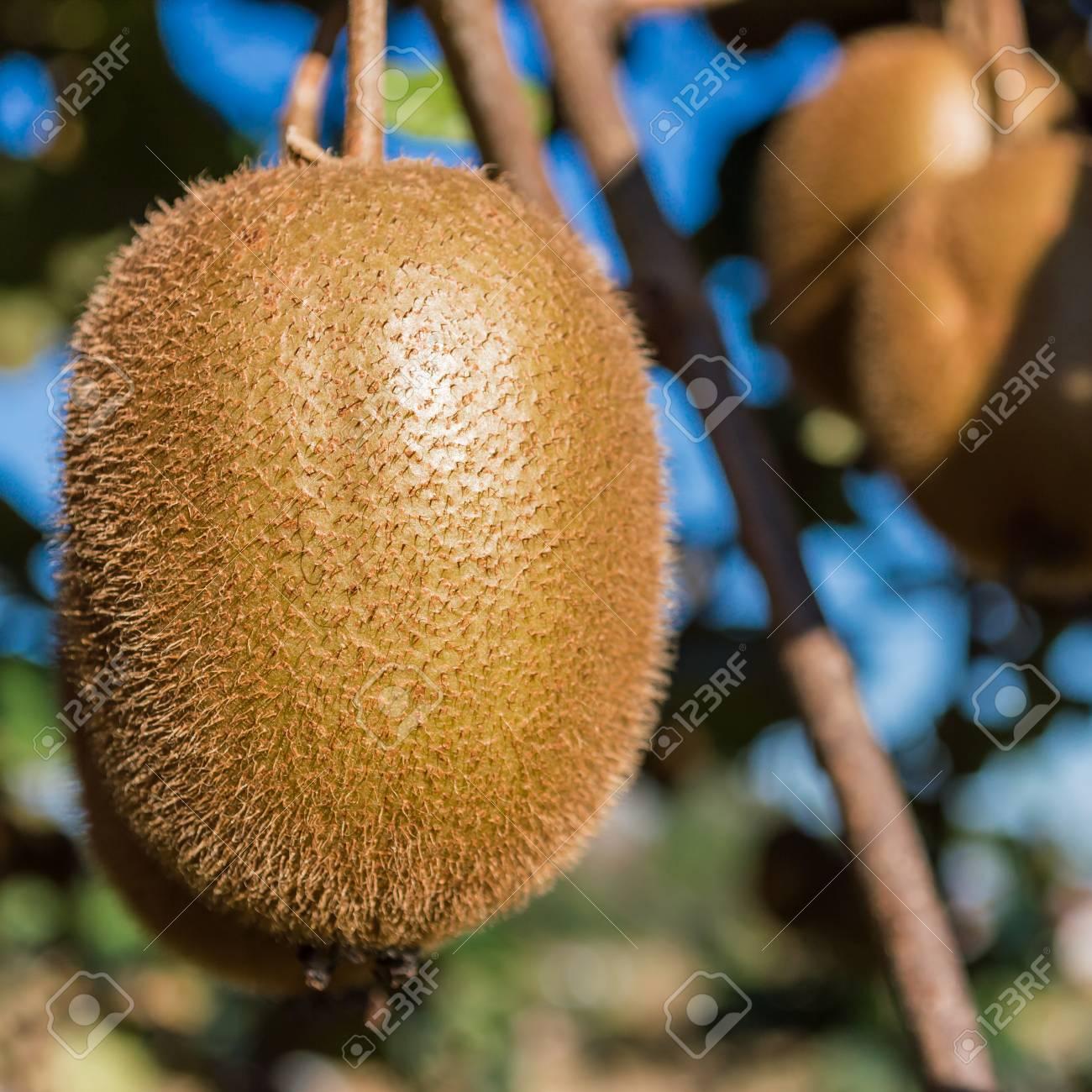 premier étage de kiwi fruit sur l'arbre banque d'images et photos