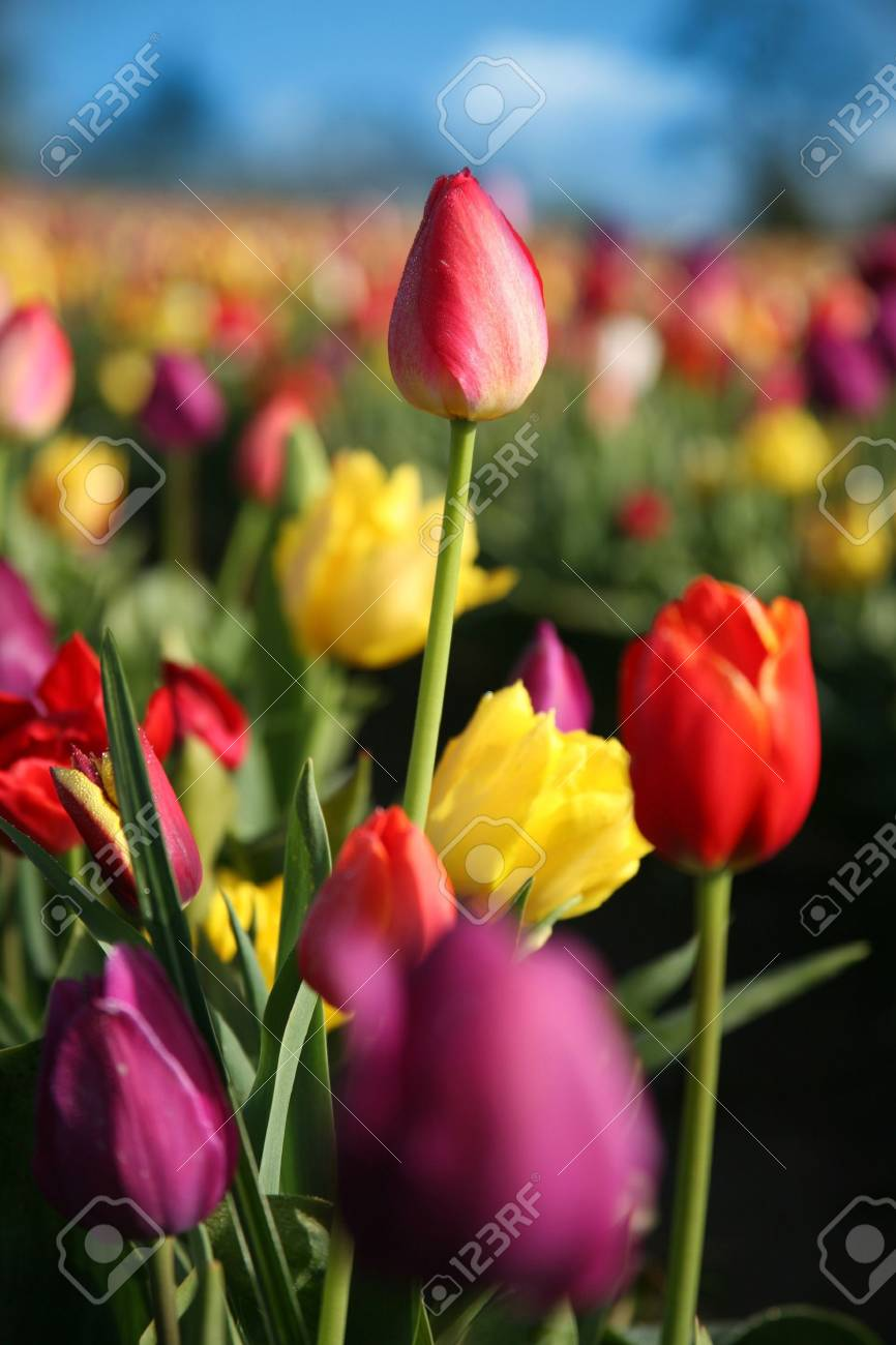 Tall Red Tulip in Field Stock Photo - 2938103