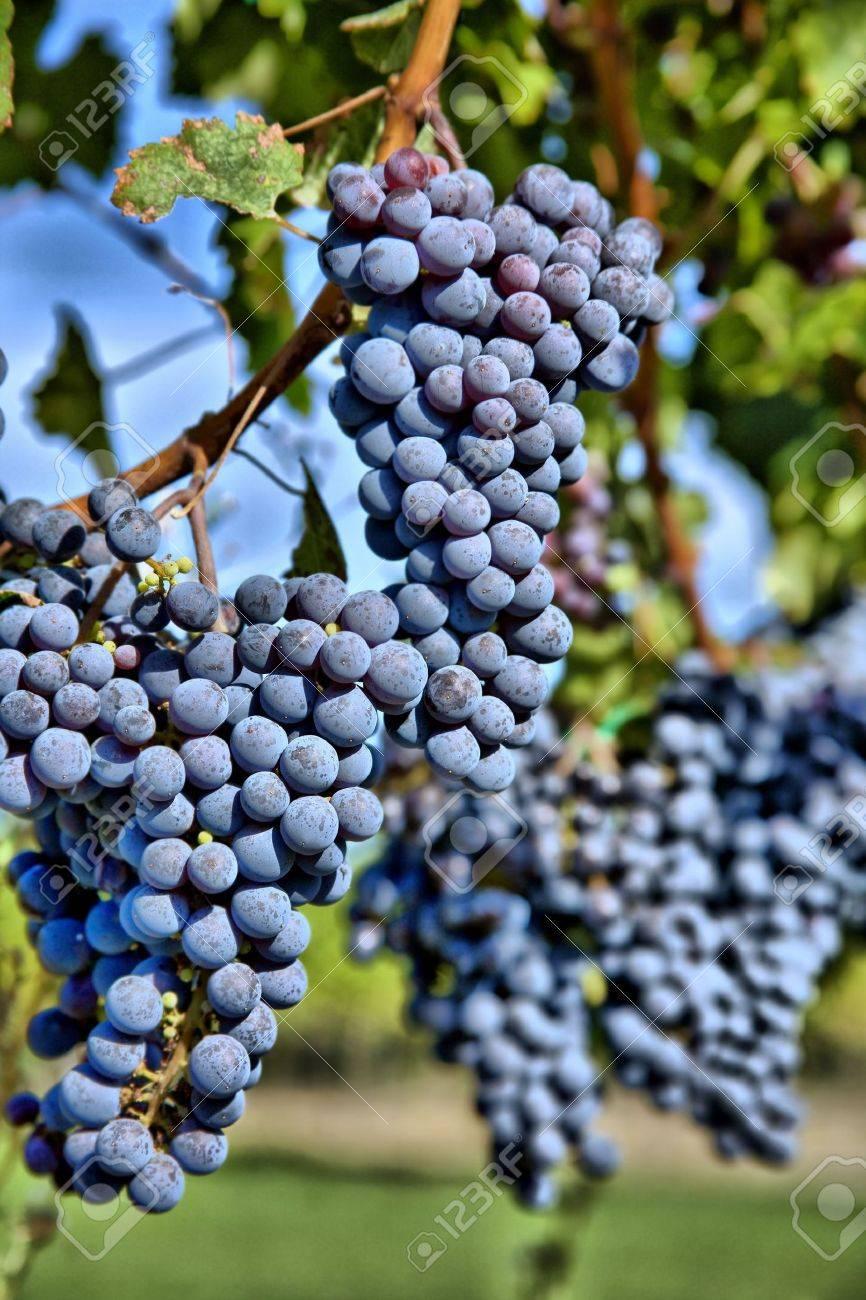 Merlot Grapes on Vine in Vineyard HDR Stock Photo - 4373524