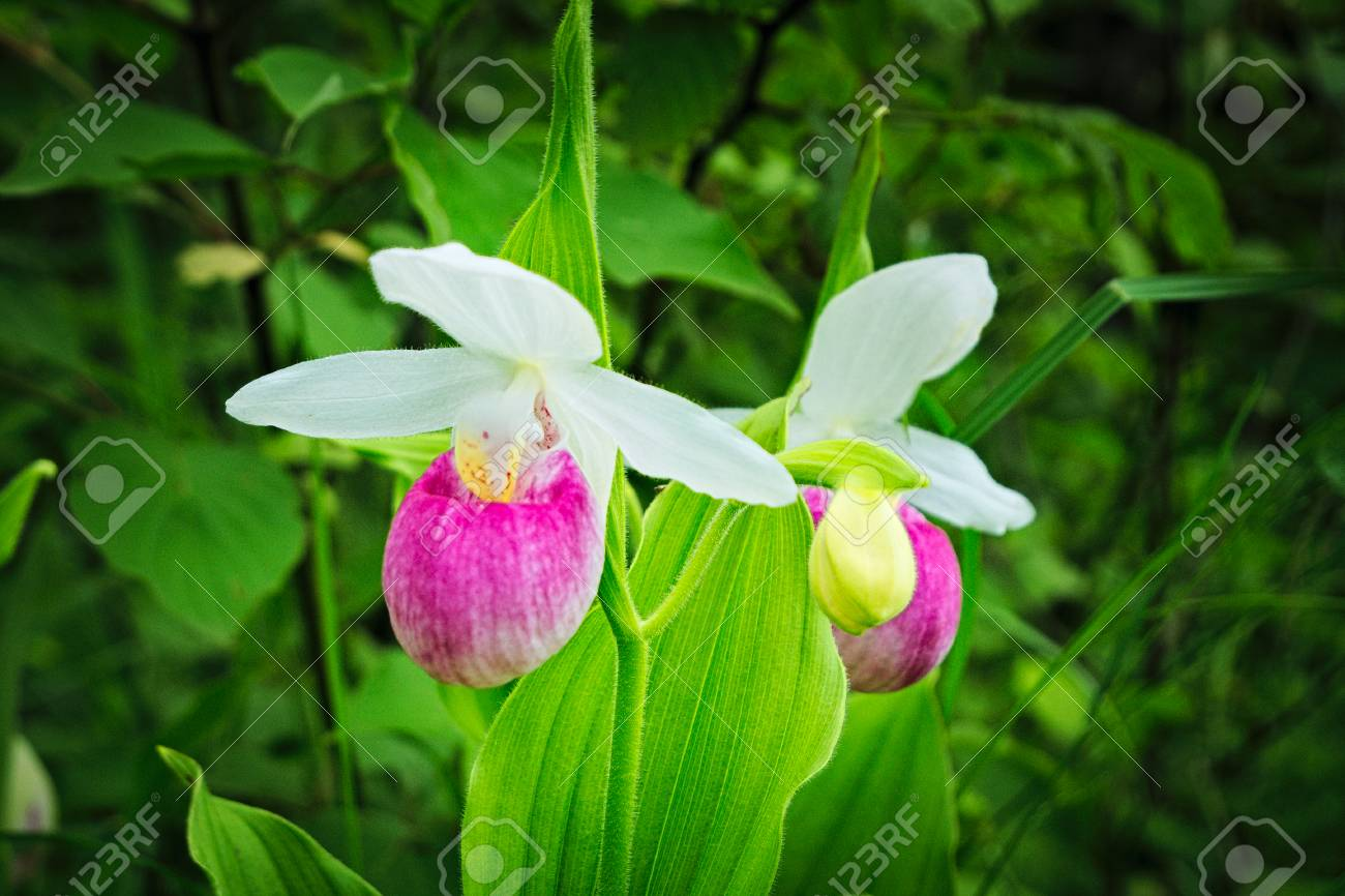 Showy ladys slipper cypripedium reginae also known as pink and showy ladys slipper cypripedium reginae also known as pink and white mightylinksfo