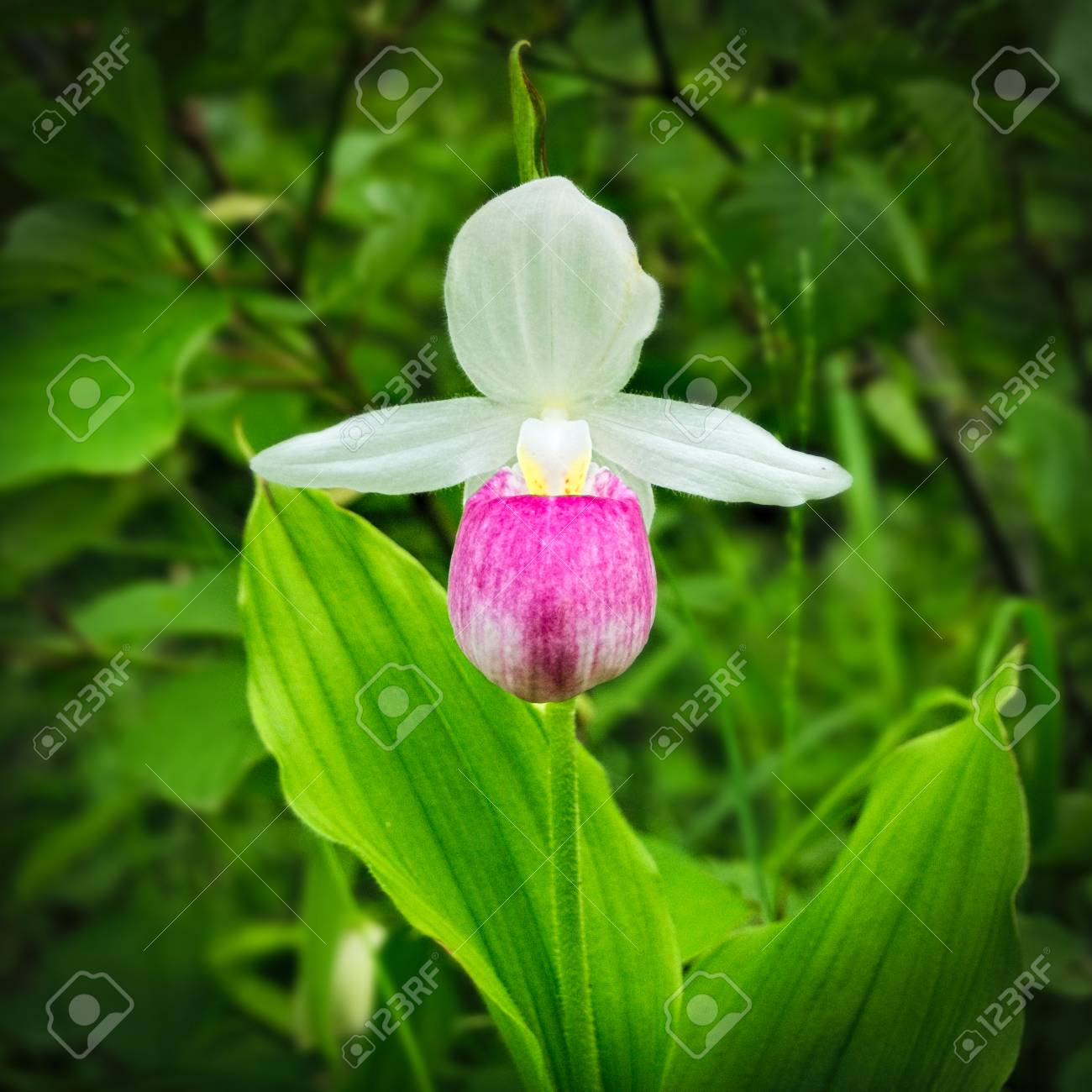 Showy Ladys Slipper Cypripedium Reginae Also Known As Pink And