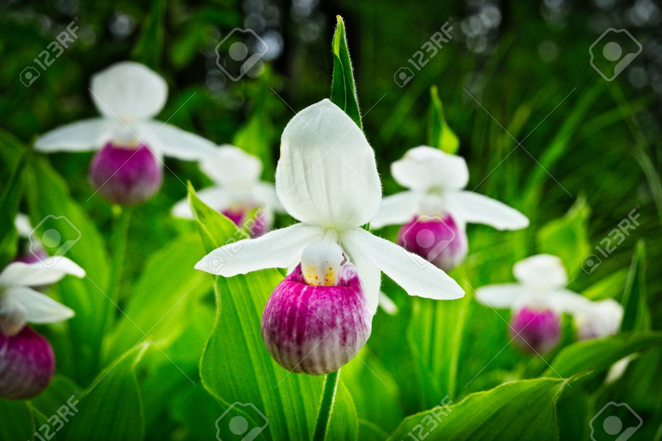 Showy Lady S Slipper Cypripedium Reginae Also Known As Pink And White Stock Photo Picture And Royalty Free Image Image 93623362
