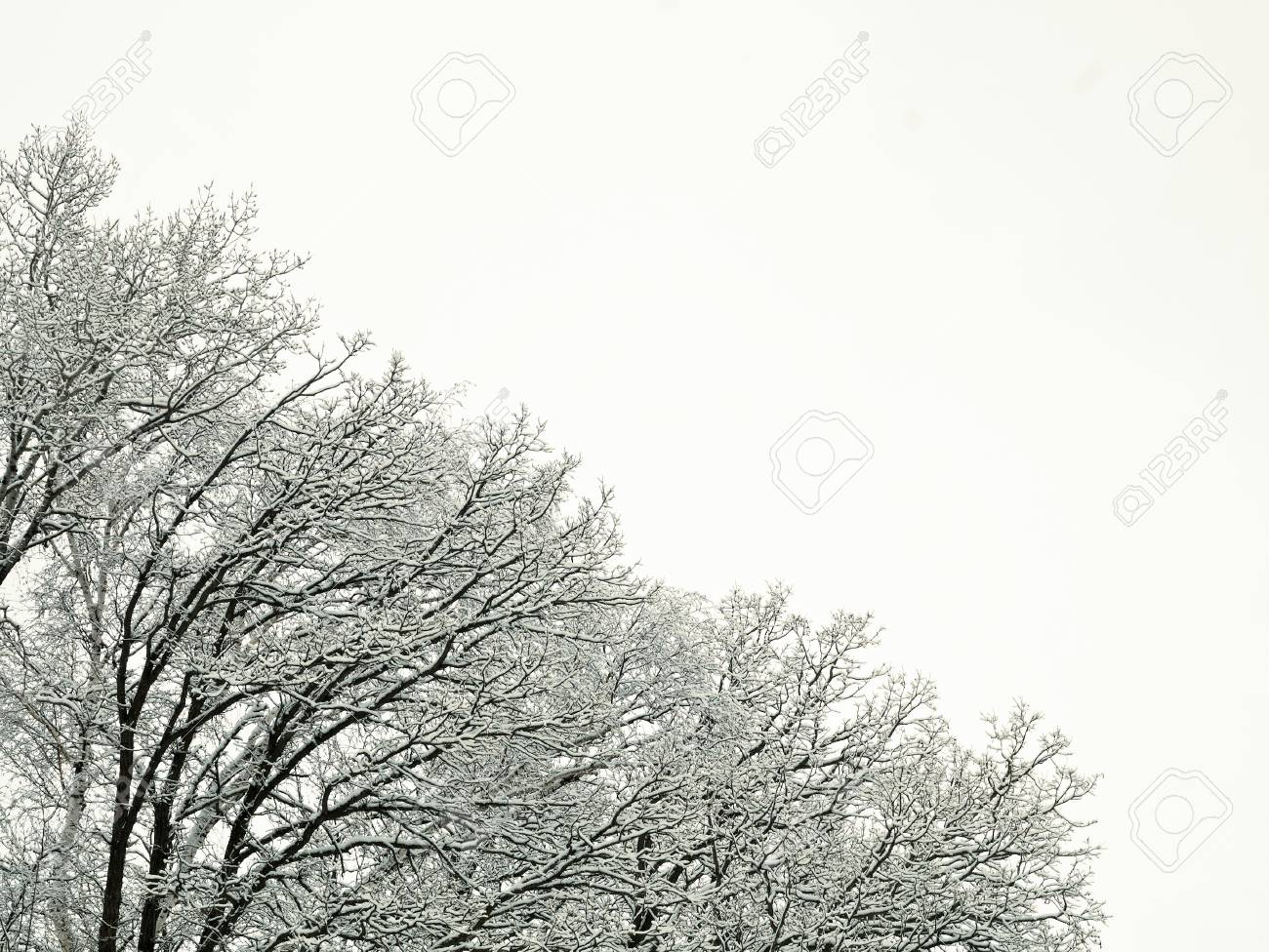 New Fresh Snow On Branches Of Trees In Winter Scene In Bemidji