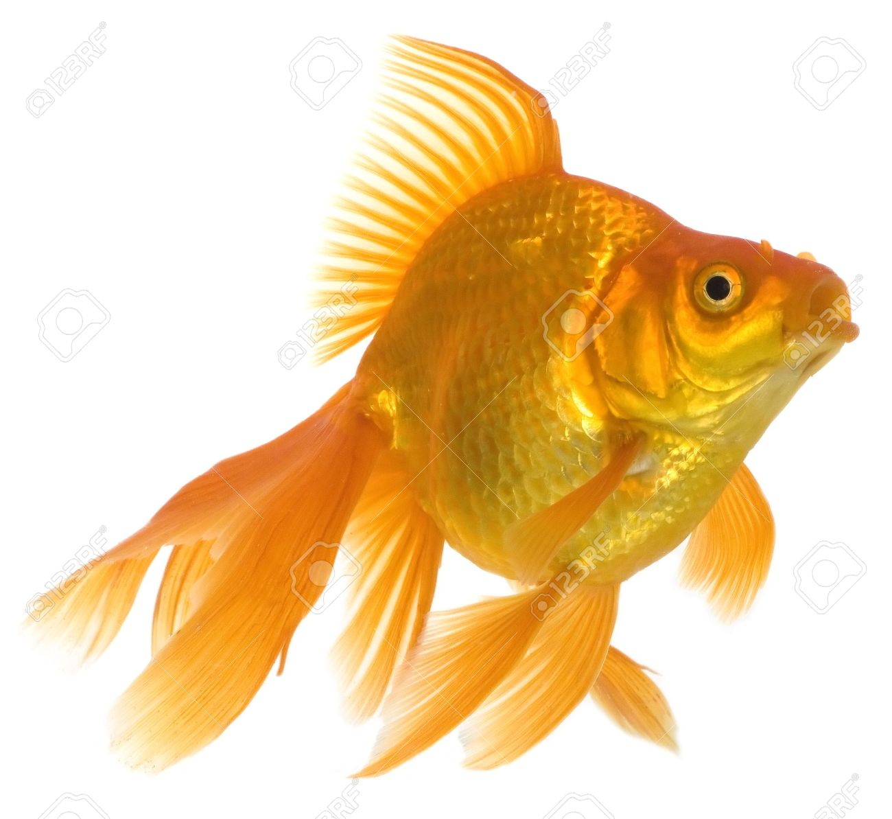 Home animals. Golden fish. Golden swimming fish in aquarium on white background Stock Photo - 7403263