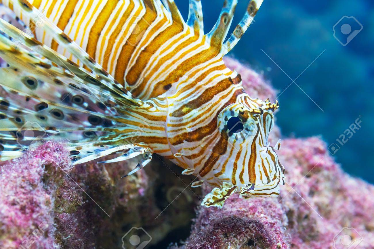 Macro view of lionfish in the sea underwater Stock Photo - 18022338