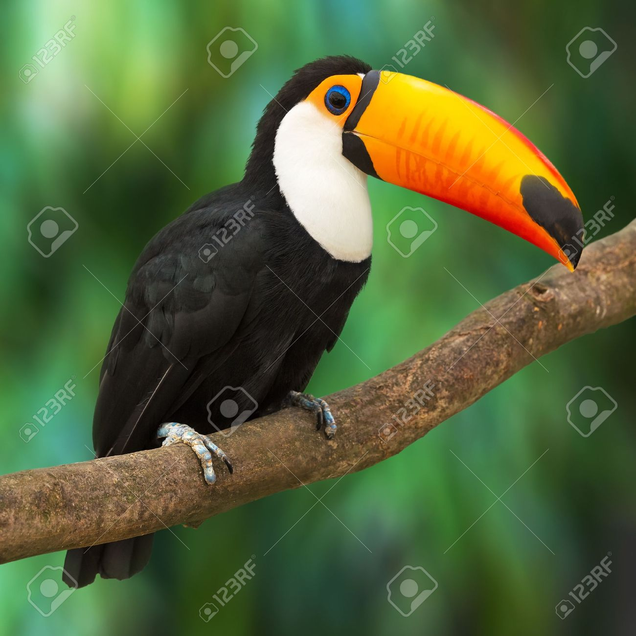 Toucan Ramphastos Toco sitting on tree branch in tropical forest or jungle - 20294432