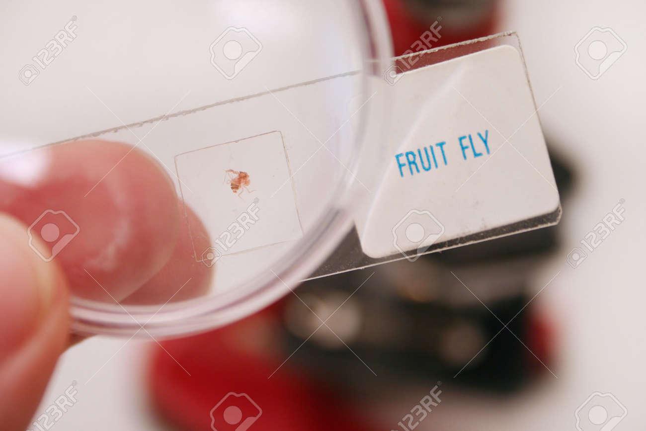 Mosca De La Fruta En Microscópicas De Diapositivas Fotos, Retratos ...