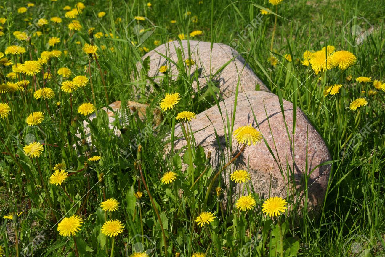 Yello dandelions and two stones on meadow Stock Photo - 13682939
