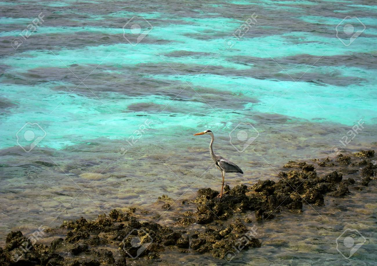 Adult Gray heron Bird (Ardea cinerea), standing on the rocks in Maldives, looking for food on the crystal clear water - 90678649