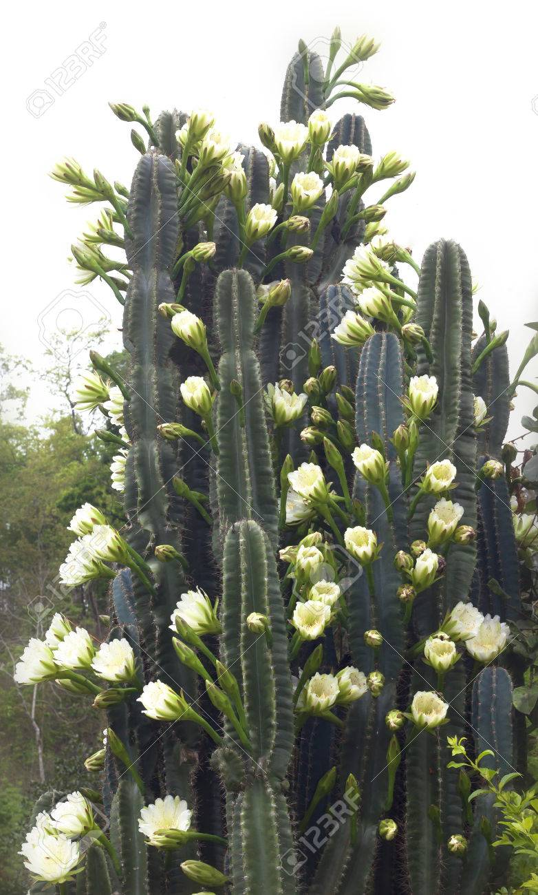 Cactus Flower White Flowers Plants Desert Plants Stock Photo