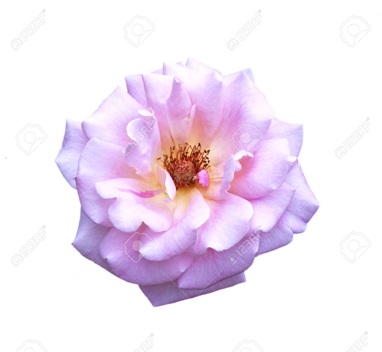 Rose pink flowers isolated on white background stock photo picture rose pink flowers isolated on white background stock photo 50692534 mightylinksfo