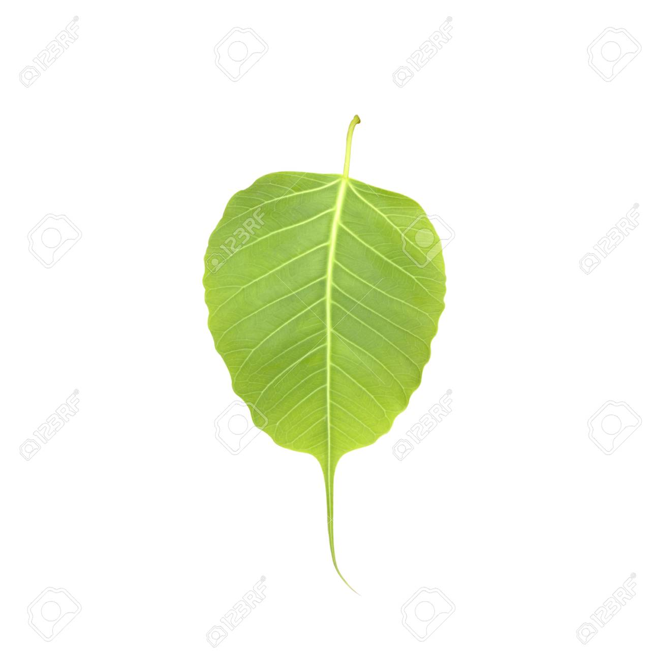 菩提葉/分離の白い背景の葉しま...