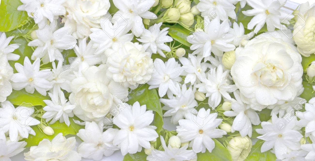 White Jasmine Flowers Fresh Flowers Natural Backgrounds Stock Photo