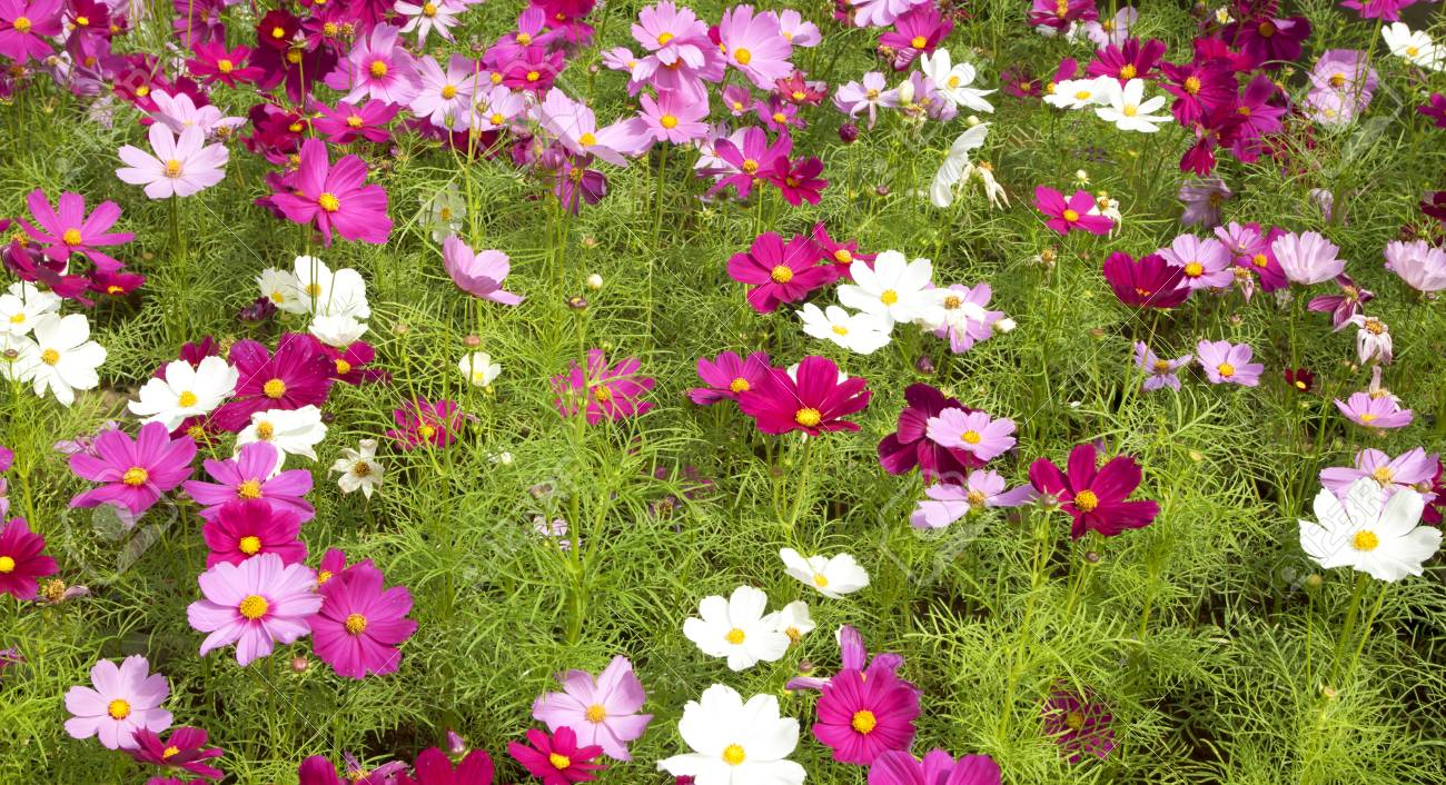 Pink Cosmos Flower Blossom A Field Of Beautiful Natural Flowers